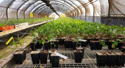 Serra tartuficoltura piante da tartufo micorrizate